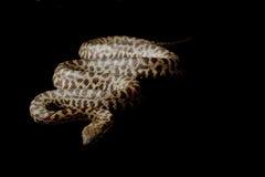 Beschmutzte Pythonschlange stockbilder