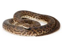 Beschmutzte Pythonschlange lizenzfreies stockbild