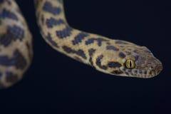 Beschmutzte Pythonschlange/Antaresia-maculosa lizenzfreie stockfotos