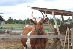 Beschmutzte rote und weiße Kuh auf dem Bauernhof Die Kuh lickens Dorfhaus auf dem Gebiet Lizenzfreies Stockbild