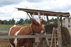 Beschmutzte rote und weiße Kuh auf dem Bauernhof Die Kuh lickens Russische landwirtschaftliche Landschaft Lizenzfreie Stockfotos