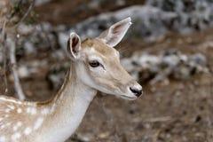Beschmutzte Rotwild Achsenachse im Wald Lizenzfreie Stockfotos