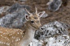 Beschmutzte Rotwild Achsenachse im Wald Stockfotografie
