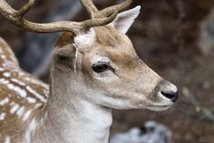 Beschmutzte Rotwild Achsenachse im Wald Stockfotos