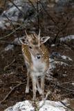 Beschmutzte Rotwild Achsenachse im Wald Stockbild