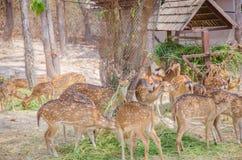 Beschmutzte Rotwild, die Gras essen Chital Lizenzfreie Stockbilder