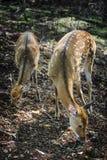Beschmutzte Rotwild im Herbstwald stockfoto