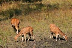 Beschmutzte Rotwild im natürlichen Lebensraum Stockfoto