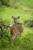 Beschmutzte Rotwild an Nationalpark Gir, Indien Stockfoto
