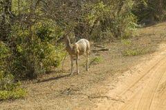 Beschmutzte Rotwild in Nationalpark Yala, Sri Lanka Lizenzfreie Stockfotografie
