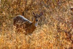 Beschmutzte Rotwild oder Achse im Nationalpark Ranthambore Lizenzfreies Stockfoto