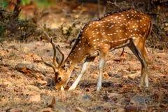 Beschmutzte Rotwild oder Achse im Nationalpark Ranthambore Lizenzfreie Stockfotos