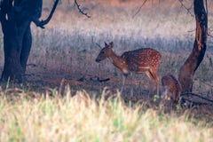 Beschmutzte Rotwild oder Achse im Nationalpark Ranthambore Lizenzfreies Stockbild