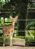 beschmutzte Rotwild am Zoo Stockbild