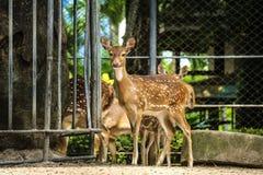 beschmutzte Rotwild am Zoo Lizenzfreies Stockbild