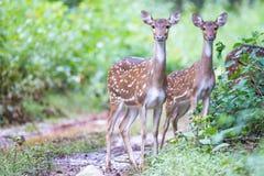 Beschmutzte Rotwildpaare im Wald Stockbild