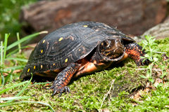 Beschmutzte Schildkröte Stockfoto