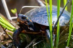 Beschmutzte Schildkröte Stockbild