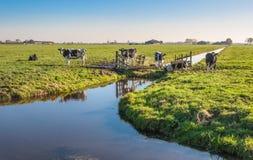 Beschmutzte Schwarzweiss-Kühe in den Niederlanden Stockfotos