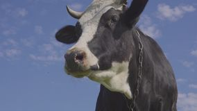 Beschmutzte Schwarzweiss-Kuh wird auf das Feld mit blühendem Löwenzahn des Gelbs, idyllische Sommerszene weiden lassen und eingez stock video footage