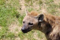 Beschmutzte Seitenansicht des Hyänenkopfes Lizenzfreie Stockbilder