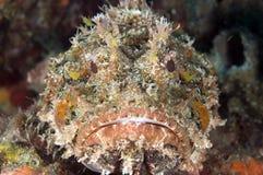 Beschmutzte Skorpion-Fische Stockfotos
