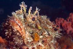 Beschmutzte Skorpion-Fische Stockfoto