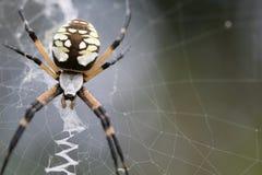 Beschmutzte Spinne auf seinem Web Stockbilder
