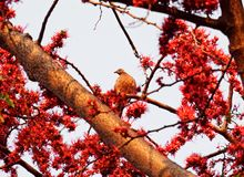 Beschmutzte Taube auf Niederlassung des Affe-Blumen-Baums auf Himmel Stockfotos