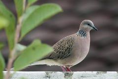 Beschmutzte Taube, die auf einem Flachdach steht Stockfotografie