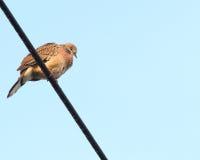 Beschmutzte Taube gehockt auf Draht Lizenzfreies Stockbild