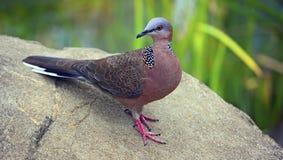 Beschmutzte Taube oder Taube Stockfoto