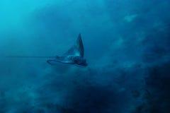 Beschmutzter Adlerstrahl im Roten Meer   Stockfoto