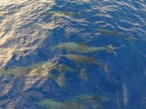 Beschmutzter Delphin Stockbild