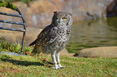Beschmutzter Eagle Owl auf Gras in Sun Lizenzfreie Stockbilder