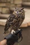 Beschmutzter Eagle Owl Perched auf einer Hand Stockfoto