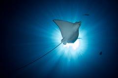 Beschmutzter Eagle Ray - Aetobatus ocellatus - Schwimmen unter der Sonne Stockbilder
