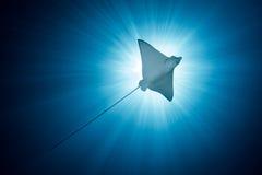 Beschmutzter Eagle Ray - Aetobatus ocellatus - Schwimmen unter der Sonne Lizenzfreie Stockfotos