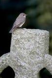 Beschmutzter Flycatcher, Muscicapa striata Lizenzfreies Stockbild
