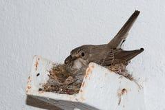 Beschmutzter Flycatcher am Nest lizenzfreie stockfotos