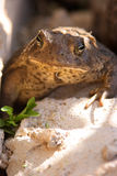 Beschmutzter Frosch, der auf einem Felsen sitzt Lizenzfreies Stockbild