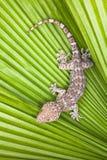 Beschmutzter Gecko auf einer grünen Blattpalme Stockfotografie