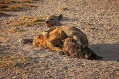 Beschmutzter Hyäne Crocuta Crocuta, der ihre Jungen liegen auf dem GR einzieht stockfoto