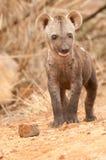 Beschmutzter Hyänewelpe Lizenzfreies Stockfoto
