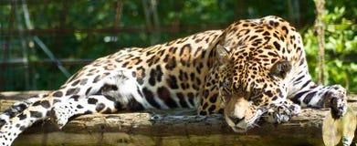 Beschmutzter Jaguar lizenzfreie stockfotos