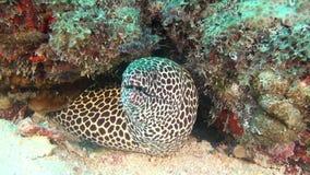 Beschmutzter Moray Eel auf Hintergrund sauberen klaren Meeresgrund Underwater in Malediven stock video footage