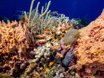Beschmutzter Moray Eel, der aus Koralle heraus späht stockfotografie