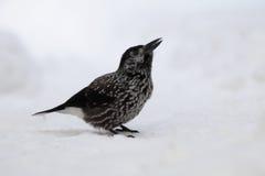 Beschmutzter Nussknacker, der im Schnee sitzt Stockfotografie