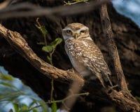 Beschmutzter Owlet Lizenzfreie Stockbilder
