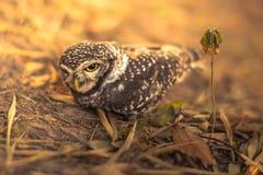 Beschmutzter Owlet Stockfotos
